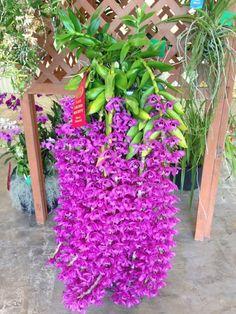 il existe 25000 espèces d'orchidées, cette plante tombante