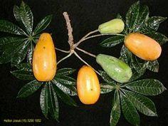 Jaracatiá - Jaracatia spinosa