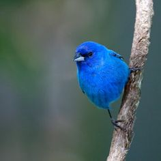 Indigo Bunting----I love to see these in my yard.