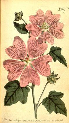 Lavatera Thuringiaca (1801-1803) - Curtis's botanical magazine. - Biodiversity Heritage Library