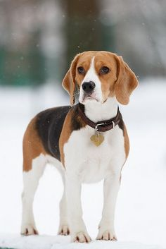Such a gorgeous Beagle on a beautiful, snowy, winter day! Breathtaking!