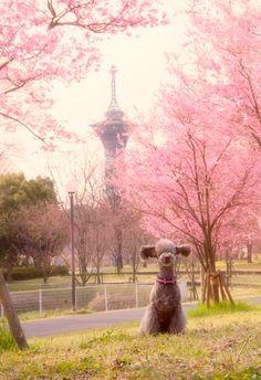 Okame cherry blossoms