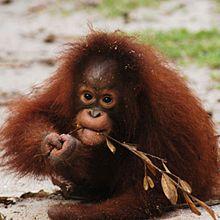 kesi Orangutan Outreach