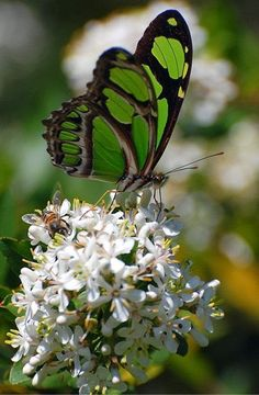~Green & black butterfly~