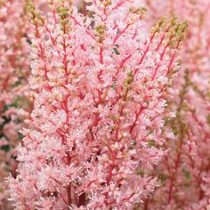 Astilbe x arendsii 'Look at Me'False Goatsbeard Astilbe x arendsii 'Look at Me' – Perennial & Biennial Plants – Thompson & Morgan - AzZHealthy