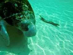 swimming with Manatees in Clearwater FL.