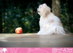 Dog photo: a cute Maltese/ShihTzu dog sits beside an apple Maltese cutties