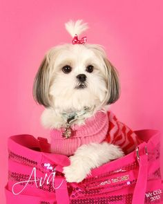 Shih Tzu Maltese mix. Victory Secret model on the side. Little Miss Ava