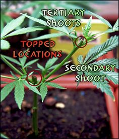 A Complete Guide to Topping, Training and Pruning Marijuana Plants | Grow Weed Easy