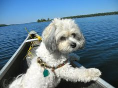 cali the shichon. These dogs are smart, funny, and great companions.