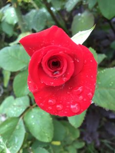 One of dad's roses after rain overnight    {by Anita Rose}