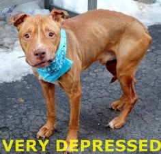 SAFE - 03/01/15  by Potter's Angel Rescue --- SUPER URGENT - 02/27/15 Manhattan Center   My name is EEYORE. My Animal ID # is A1028346. I am a male red and white am pit bull ter mix. The shelter thinks I am about 2 YEARS old.  I came in the shelter as a STRAY on 02/19/2015 from NY 10039, owner surrender reason stated was ABANDON.  https://www.facebook.com/photo.php?fbid=968400489839497