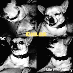 Chillin with mum. . . . #darkfilter #Chloe #chihuahua #dog #mamasgirl #spoiled #wrotten #bratt #dog #family #furever #home #MinPinCountry #thehouseisquiet #samsungcameraphone #inshotapp