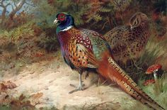 Archibald Thorburn    Cock and Hen Pheasant in the Undergrowth