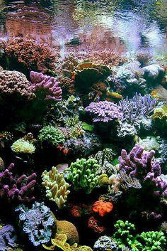 El Coral... Gracias a la pesca indiscriminada, la contaminación y el calentamiento global del planeta, los arrecifes coralinos, vitales para nuestra existencia, están desapareciendo. Los corales son pequeños animales que construyengrandes paredes calcáreas submarinas capaces de formar paredes, islas o atolones, pudiendo superar los miles de kilómetros de longitud.