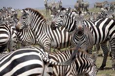 Art in Tanzania organizes safari programs to all National parks and Mt Kilimanjaro climbs as part of the fund raising for the community development work. Wildlife Park, Kilimanjaro, Zebras, Tanzania, Safari, National Parks, Campaign, African, Content