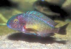 """Tropheus moorii """"Chaitika"""" Blue Rainbow"""