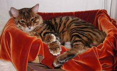 """Like the domestic Bengal Cat, the Toyger is highly trainable, loyal, loves water and can be somewhat dog-like. It can be a """"talkative"""" cat. An excellent pet, they get along well with other animals and children. Toygers also can be trained to walk on leashes and do other """"tricks."""""""