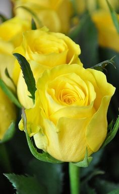 Yellow Roses are my sister's favorites!
