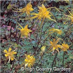 """24"""" x 18"""" wide, (seed propagated). *Green Thumb Award Winner 2000.* Certainly one of the most spectacular of our native columbines. 'Swallowtail' has huge bi-colored yellow and sweeping 4-4 1/2"""" long spurs. The flowers appear in late spring and are held on sturdy stems above the mound of blue to blue-green foliage. Plant in full sun or part sun in compost enriched soil. Water regularly. Zone 5-10. 5"""" deep premium pot size."""