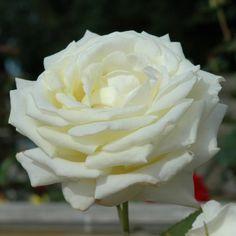 Silver Anniversary (Bush Rose)
