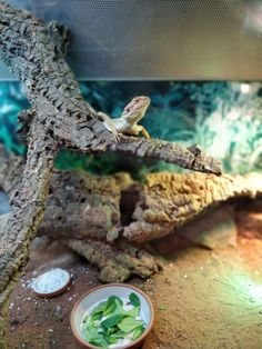 What A Natural Habitat Will Do To Your Bearded Dragon Bearded Dragon Tank Setup, Bearded Dragon Lighting, Bearded Dragon Colors, Bearded Dragon Enclosure, Bearded Dragon Terrarium, Bearded Dragon Funny, Bearded Dragon Cage, Bearded Dragon Habitat, Reptile Show