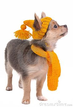Chihuahua with yellow hat and scarf -  cold.