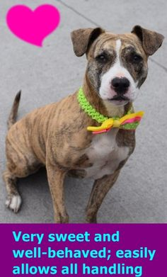 HAPPYTEARS ❤️❤️❤️ SAFE❤️❤️ 9/23/16❤️ PLEASE LOVE AND KEEP HER FOREVER❤️❤️ RETURN 08/18/16 NO ANSWER --- SAFE 5-23-2016 --- Brooklyn Center SASSY aka LAILA – A1073463 SPAYED FEMALE, BR BRINDLE / WHITE, AM PIT BULL TER MIX, 1 yr STRAY – STRAY WAIT, HOLD FOR ID Reason STRAY Intake condition UNSPECIFIE Intake Date 05/12/2016 http://nycdogs.urgentpodr.org/2016/05/laila-a1073463/