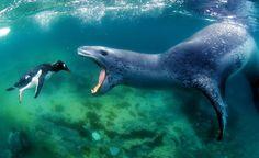 OH NO! A Leopard Seal ( Hydrurga leptonyx) about to swallow a Gentoo Penguin (Pygoscelis papua). Amos Photography