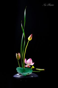 Lotus Flower Pictures, Beautiful Flowers Pictures, Beautiful Flowers Garden, Exotic Flowers, Amazing Flowers, Ikebana Flower Arrangement, Ikebana Arrangements, Flower Arrangements, Fruit Flowers