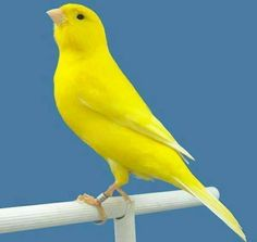 Canary Birds, Amazing Nature, Parrot, Tin, Yellow, Outdoor Decor, School, Insects, Animals