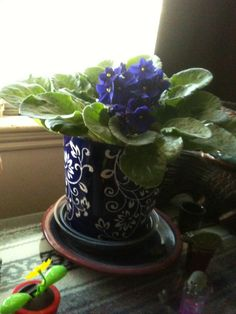 One of my favorite African violets