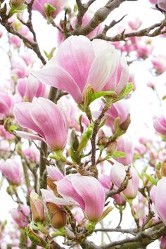 Magnolia.