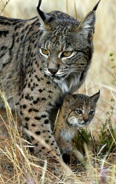 Bobcat (Lynx rufus) appeared in  North America appearing 1.8 million years ago,  LC