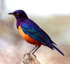Hildebrandt's starling. Looks pretty. Please check out my website thanks. www.photopix.co.nz