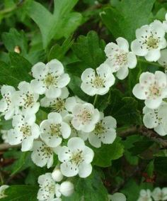 Buy Hawthorn Hedging Trees - Crataegus monogyna - Trees by Post May Garden, Spring Garden, Beech Hedge, Hedging Plants, Plum Tree, Plants Online, Spring Blossom, Plant Sale, Garden Trees