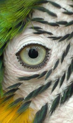 seeing this, i see for the 1st time, that the marks around a parrot's eyes are actually tiny feathers!!