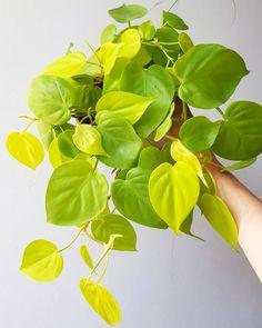 Las Mejores 52 Ideas De Planta Filodendro Filodendro Plantas Plantas De Interior
