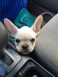 The Daily Frenchie : Photo