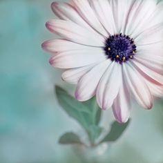 """'Blütenspitzen""""' von joshi bei artflakes.com als Poster oder Kunstdruck $16.63 #Fotografie #closeup #nah #Makro #Makrofotografie #Blüte #Blumen #flower #flowers #nature #Natur #Naturliebhaber #naturelovers #detail #Schönheit #Textur #Photoshop #dekorativ #fineart"""