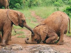 my little pumpkins. .!! Credit : @dswt -. Photo David Sheldrick Wildlife Trust For info about promoting your elephant art or crafts send me a direct message @elephant.gifts or emailelephantgifts@outlook.com . Follow @elephant.gifts for inspiring elephant images and videos every day! . . #elephant #elephants #elephantlove