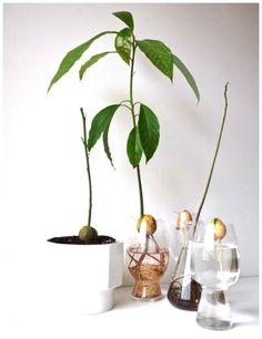 Det er mange år siden jeg sidst har prøvet, at få en plante ud af en avokado-sten. Men når jeg ser billederne her – så kan jeg mærke, at jeg snart skal prøve det igen. DIY Tag stenen forsigti…