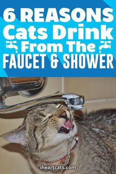 Thirsty cats love the tap! Is it the running water? Find out from I Heart Cats. Cat Care Tips, Pet Care, Pet Tips, Cat Hacks, Kitten Care, Cat Drinking, Cat Behavior, Cat Health, Crazy Cats