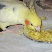 Cockatiels, Foods for Cockatiels that are Healthy and Nutritious, What foods to feed cockatiels, , Recommended Nutritional Foods,Avian Nutrition and Nutritional Needs of a Cockatiel,What do cockatiels eat. Toxic Foods, Foods that are toxic to cockatiels and make birds sick.>