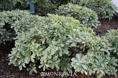 Cream De Mint™ Dwarf Mock Orange  Pittosporum tobira 'Shima' - Glossy mint green leaves with creamy-white edges produce a fine accent, lovely low hedge or fill-in plant for borders. Dense, compact evergreen foliage requires little maintenance.