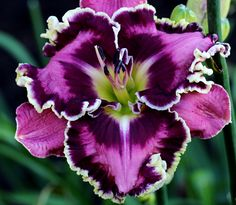 One of the most gorgeous blooms I've ever seen is this 2014 intro. 'Picasso's Intrigue' Daylily