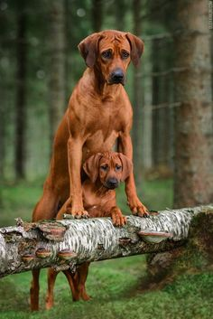 Cute Big Dogs, Rhodesian Ridgeback Puppies, Animals And Pets, Cute Animals, Cute Dog Photos, Dog Logo, Animal Posters, Beautiful Dogs, Mans Best Friend