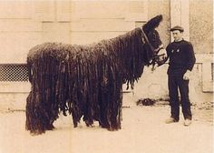 The Poitou - The Donkey with Dreadlocks ~ The Ark In Space