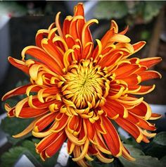 100 Pcs China Mother Bonsai Chrysanthemum Aster Flower Plant Rare Perennial Flower Indoor Bonsai Flower Plants For Family Garden Natural Treatment For Anxiety, Natural Anxiety Relief, Stress Relief, Aster Flower, Flower Pots, Flowers Perennials, Planting Flowers, Chrysanthemum Morifolium, Tattoo Ideas