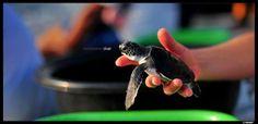 Tiny Island Volunteers. Saving turtles in the Maldives. I love turtles.